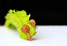 The snails in action Royalty Free Stock Photography