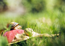 Snails on an apple Royalty Free Stock Image