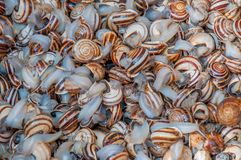Snails. Beautiful harvest snail in morocco, africa Royalty Free Stock Images