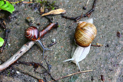 The snails. The big white snail on the ground Stock Photos