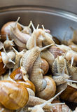 Snails in the bowl during preparation Stock Photography