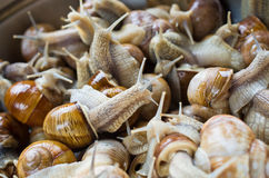 Snails in the bowl during preparation Royalty Free Stock Photo