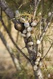 Snails on branch. A lot of snails on one branch. One of them has a different color Stock Photos
