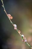 Snails on a branch Stock Images