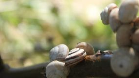 Snails on branch. Moved by the wind and ants crossing stock footage