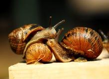Snails. Royalty Free Stock Photo