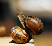 Snails. Stock Photos