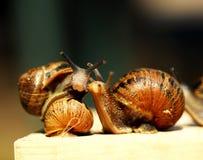 Snails. Stock Image