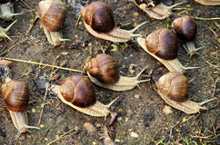 Snails. A bunch of snails after rainfall Stock Photo