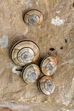 Snails on calcareous rock Royalty Free Stock Photo