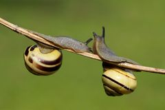 Snails (cepaea nemoralis) Stock Photo