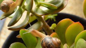 Snails Climb a Plant stock footage