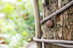 Snails climb on the tree Shows the abundance of natural food chains. Snail on the tree in the garden. Snail gliding on the wet stock photo