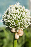 Snails climbing on Onion Flower at sunset Stock Images
