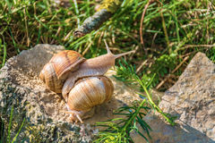 Snails climbing on the rock Stock Photo