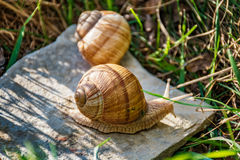Snails climbing on the rock Stock Photography