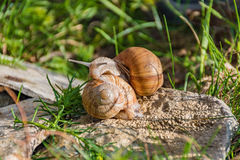 Snails climbing on the rock Royalty Free Stock Photography