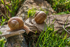 Snails climbing on the rock Stock Images