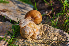 Snails climbing on the rock Royalty Free Stock Images