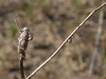 snails clinging to the dried plant near the beach Stock Photography
