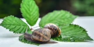 Snails Stock Images