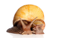 Snails crawling. Two yellow snails posing on a white background Stock Images
