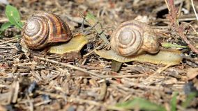 Snails crawling around the field. Snails crawl around the field in search of food stock video