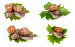 Snails crawling on the grape leaves on white background close-up macro. Set or collection. Snails crawling on the grape leaves on a white background close-up Royalty Free Stock Photo