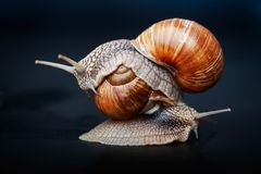 Snails crawling one on one in the studio. Big snails crawling one on one in the studio royalty free stock photos