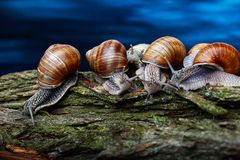 Snails crawling one on one in the studio. Big snails crawling one on one in the studio royalty free stock images