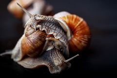 Snails crawling one on one in the studio. Big snails crawling one on one in the studio royalty free stock photo