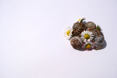Snails with daisy Stock Photos