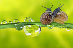 Snails on dewy grass Stock Photography