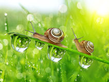 Snails on dewy grass Royalty Free Stock Photo
