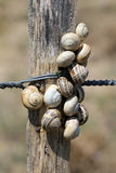 Snails dunes on a fence Royalty Free Stock Photography