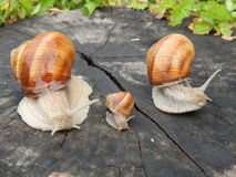 Snails family. Snail family for a walk: father, mother, child Royalty Free Stock Images