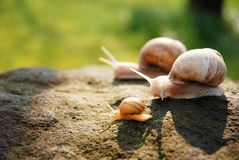 Snails family Stock Photos