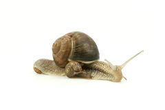 Snails family crawling Stock Photos