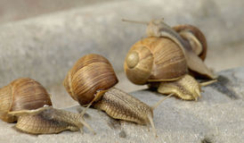 Snails family. Snails crawling on stone in the garden Royalty Free Stock Photos