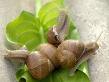 Snails family. Snails crawling on stone in the garden Royalty Free Stock Image