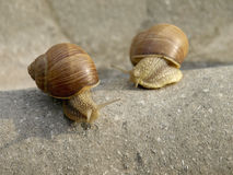 Snails family. Snails crawling on stone in the garden Stock Images