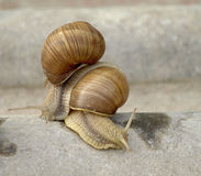 Snails family. Snails crawling on stone in the garden Stock Photography
