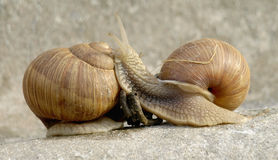 Snails family. Snails crawling on stone in the garden Stock Image
