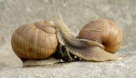Snails family Stock Image