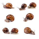 Snails, garden snail collection. Snails (Helix pomatia) isolated on white background. Stock Photography