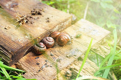 Snails. Gastropoda in the summer Royalty Free Stock Images