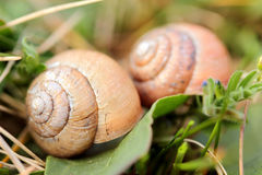 Snails in the grass Stock Images
