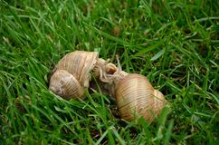 Snails on grass in garden. Two snails play together on the grass in the garden Royalty Free Stock Image