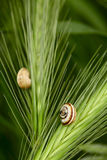 Snails on a grass spikelets Stock Photo