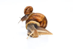 Snails. A great picture of snails, ideal for backgrounds and postcards, presentations, web and print design elements...etc Stock Images